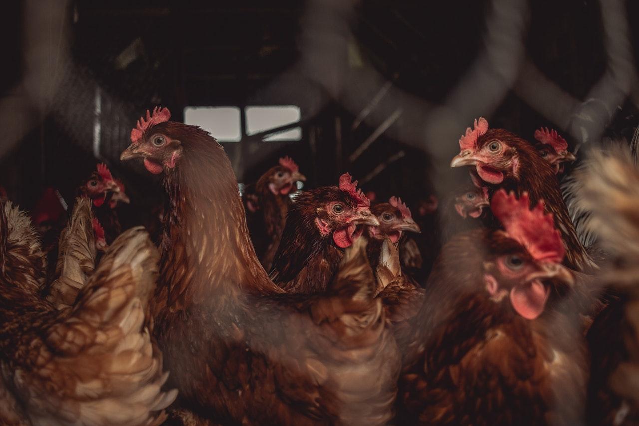 Partie polityczne o ptasiej grypie